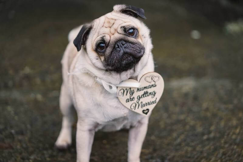 curious looking pug on its parents wedding day dressed with a wooden necklace